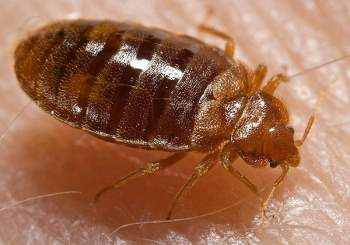 bed-bugs-removal
