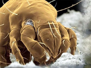 House Dust Mite Bug Busters Ireland Pest Control Services